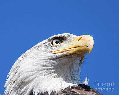 Art Print featuring the photograph Eagle by Jim  Hatch