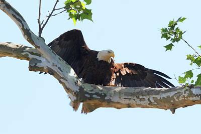 Photograph - Eagle Landing 1 by Susan Rissi Tregoning
