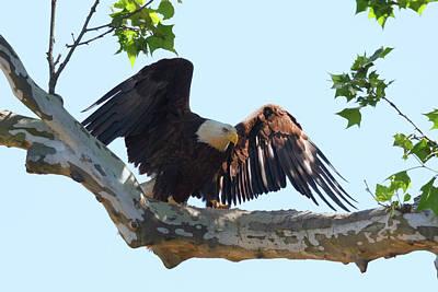 Photograph - Eagle Landing 2 by Susan Rissi Tregoning