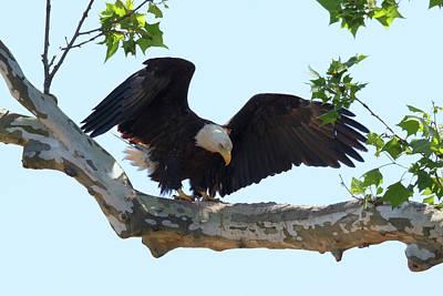 Photograph - Eagle Landing 3 by Susan Rissi Tregoning