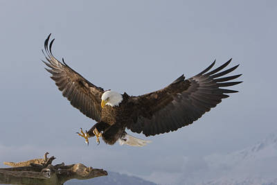 Photograph - Eagle Landing by Mark Miller