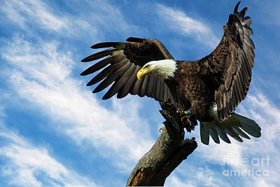 Photograph - Eagle Landing On A Branch by Eleanor Abramson