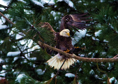 Eagle Landing With A Fish  Art Print