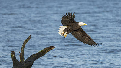 Photograph - Eagle Launch by Loree Johnson
