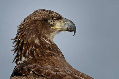 Photograph - Eagle Looking by Craig Strand