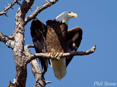 Bald Eagle Photograph - Eagle Looks Out by Phil Stone