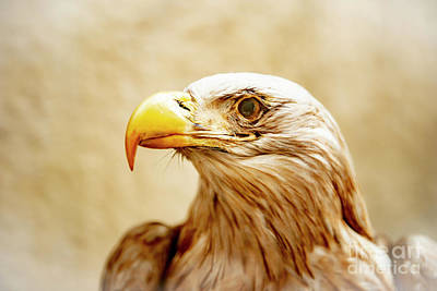 Photograph - Eagle by Mats Silvan