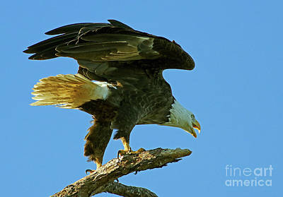 Photograph - Eagle Mom, The Scolding by Larry Nieland