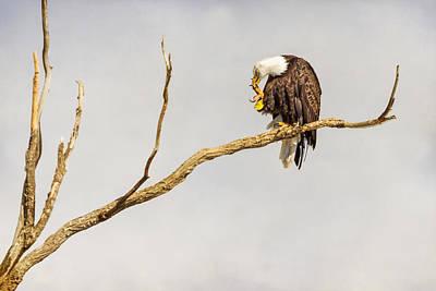 Majestic Photograph - Eagle Nail Biting  by James BO  Insogna