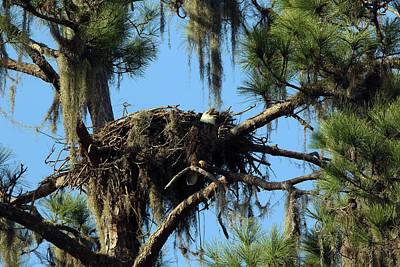 Photograph - Eagle Nest Call by David Yunker