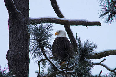 Gelid Photograph - Eagle On A Frosted Limb by Jeff Swan