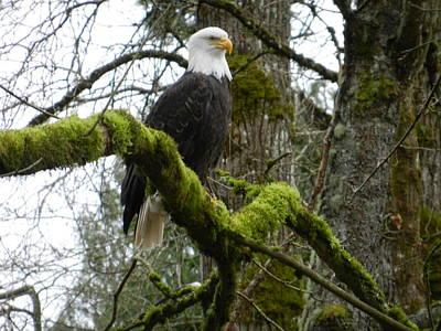 Art Print featuring the photograph Eagle On A Mossy Limb by Karen Molenaar Terrell