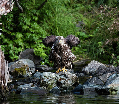 Photograph - Eagle On A Rock by Gloria Anderson