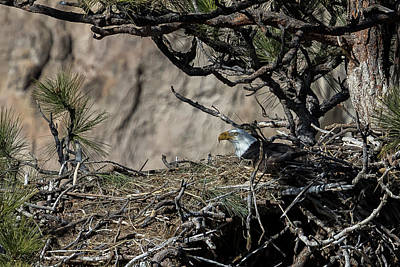 Photograph - Eagle On The Nest, No. 3 by Belinda Greb