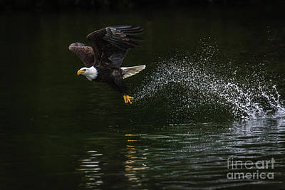 Photograph - Eagle  On The Rise by John Greco