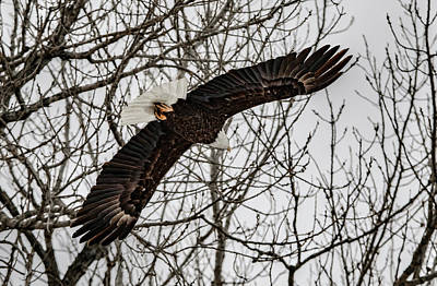 Photograph - Eagle Over Head by Ray Congrove