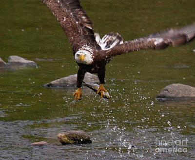 Photograph - Eagle Over Seal Rock by Debbie Stahre
