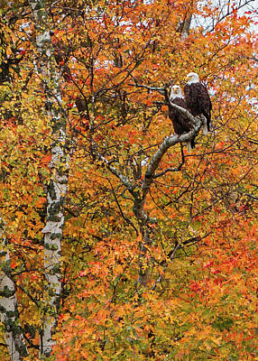 Photograph - Eagle Pair Autumn by Patti Deters
