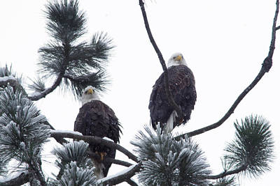 Birds Royalty-Free and Rights-Managed Images - Eagle pair in snowfall by Jeff Swan