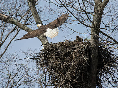 Photograph - Eagle Peeps by Art Cole