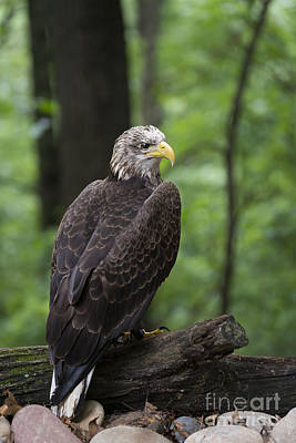 Photograph - Eagle Portrait by Andrea Silies