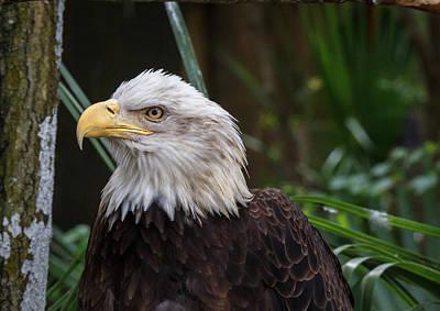 Photograph - Eagle Portrait by Les Greenwood
