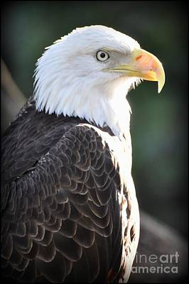 Photograph - Eagle Portrait by Rose  Hill
