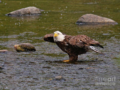 Art Print featuring the photograph Eagle Prepares For Take-off by Debbie Stahre