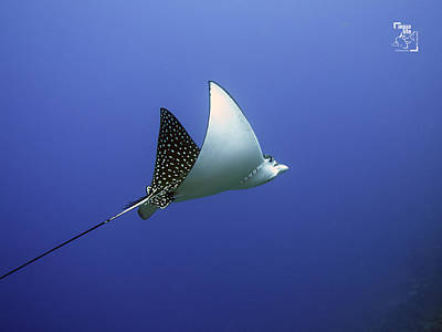 Photograph - Eagle Ray by Mauricio Riquelme