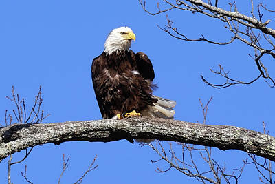 Photograph - Eagle Ruffled Feathers  by TnBackroadsPhotos
