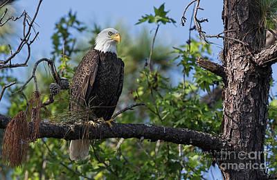 Photograph - Eagle Series 13 by Deborah Benoit