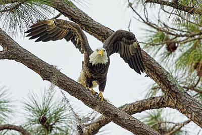 Photograph - Eagle Series Eagle Glare by Deborah Benoit