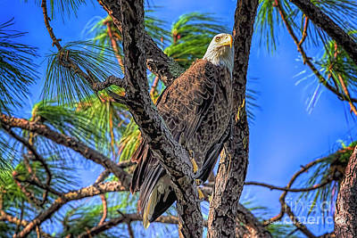 Photograph - Eagle Series In The Tree by Deborah Benoit