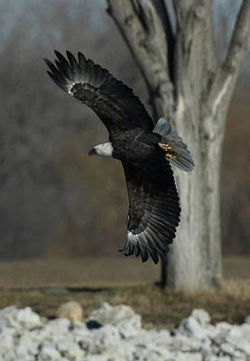 Photograph - Eagle Soaring By Tree by Coby Cooper
