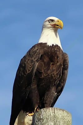 Photograph - Eagle Standing Proud by TnBackroadsPhotos