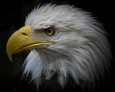 Photograph - Eagle Stare 3 by Ernie Echols