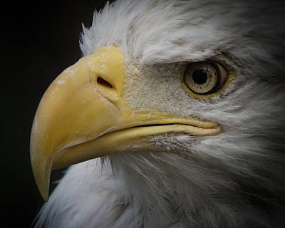 Photograph - Eagle Stare 4 by Ernie Echols