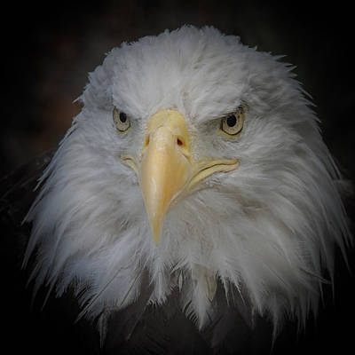 Photograph - Eagle Stare 5 by Ernie Echols
