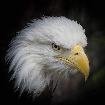 Photograph - Eagle Stare 7 by Ernie Echols