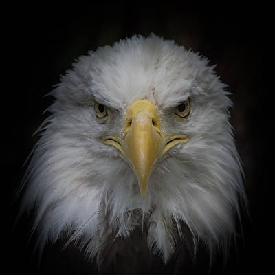 Photograph - Eagle Stare by Ernie Echols