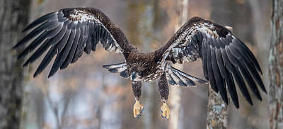 Photograph - Eagle Swoop by Paul Freidlund