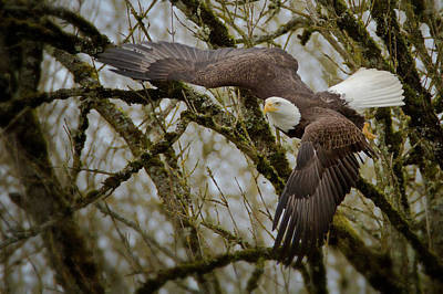 Photograph - Eagle Take Off by Craig Strand