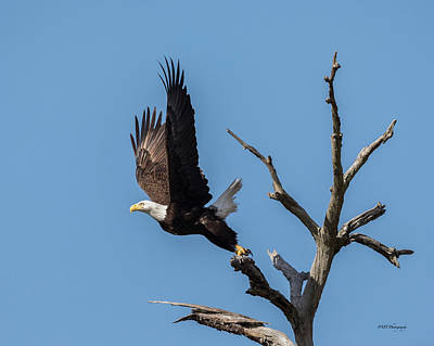 Photograph - Eagle Takes Flight by Paul Treseler