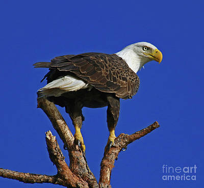 Photograph - Eagle The Female by Larry Nieland