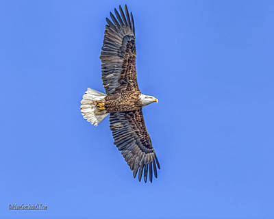 Photograph - Eagle Wild And Free by LeeAnn McLaneGoetz McLaneGoetzStudioLLCcom