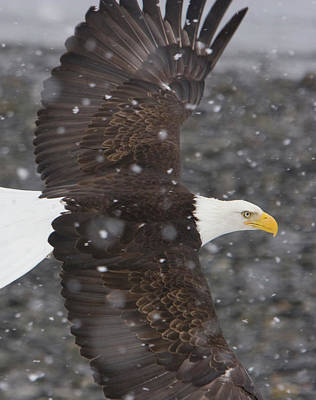 Photograph - Eagle Wings by Mark Miller