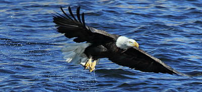 Photograph - Eagle With Fish 3/4 by Coby Cooper