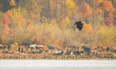 Photograph - Eagle With Fish And Foliage by Jeff at JSJ Photography
