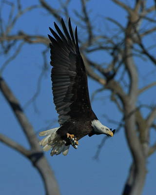 Photograph - Eagle With Fish by Coby Cooper