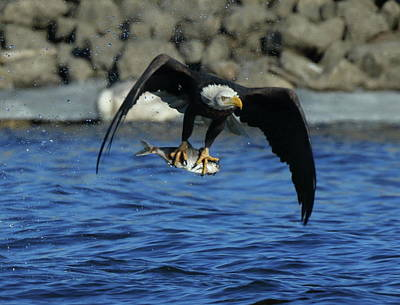 Photograph - Eagle With Fish Flying by Coby Cooper